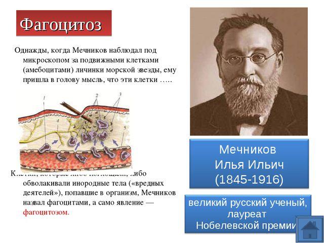 Фагоцитоз Однажды, когда Мечников наблюдал под микроскопом за подвижными клет...