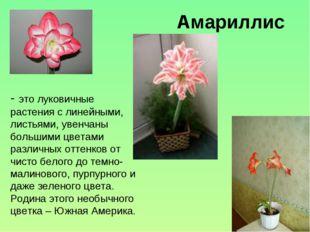 Амариллис - это луковичные растения с линейными, листьями, увенчаны большими