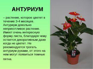 – растение, которое цветет в течение 3-4 месяцев. Антуриум довольно неприхотл