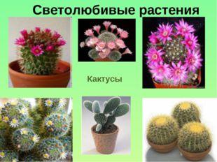 Кактусы Светолюбивые растения