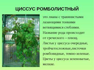 ЦИССУС РОМБОЛИСТНЫЙ это лиана с травянистыми лазающими тонкими ветвящимися ст
