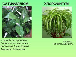 – семейство ароидных. Родина этого растения – Восточная Азия, Южная Америка,