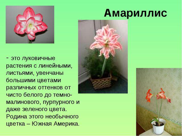 Амариллис - это луковичные растения с линейными, листьями, увенчаны большими...