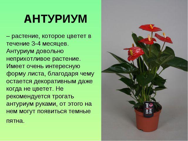 – растение, которое цветет в течение 3-4 месяцев. Антуриум довольно неприхотл...