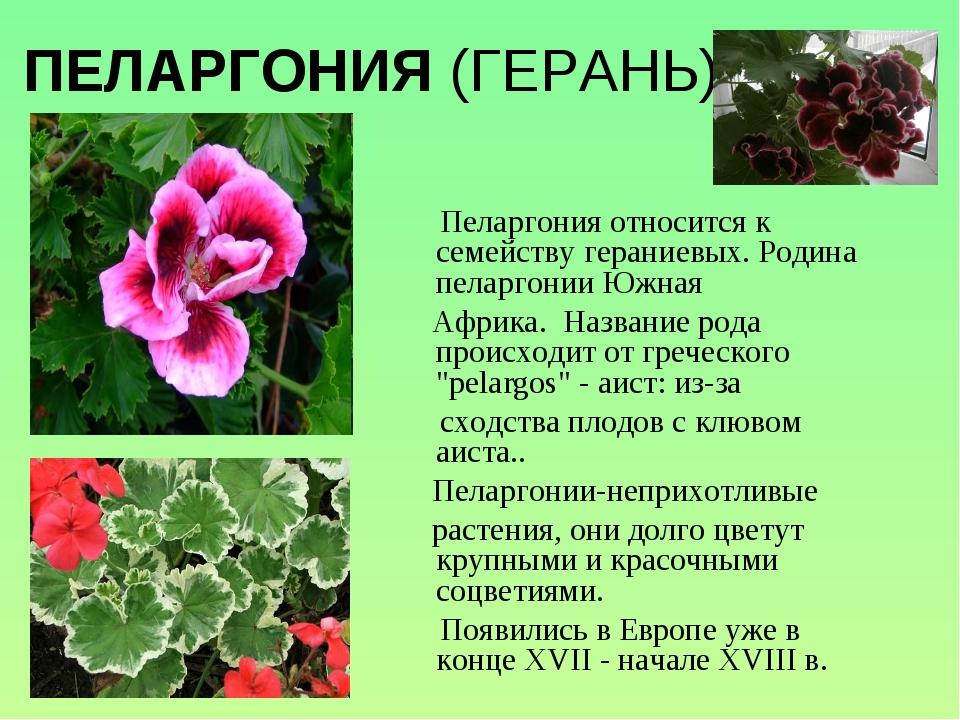 ПЕЛАРГОНИЯ (ГЕРАНЬ) Пеларгония относится к семейству гераниевых. Родина пелар...