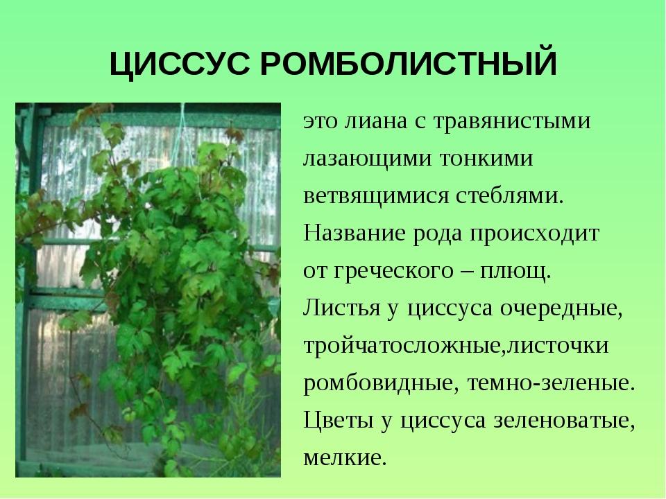 ЦИССУС РОМБОЛИСТНЫЙ это лиана с травянистыми лазающими тонкими ветвящимися ст...