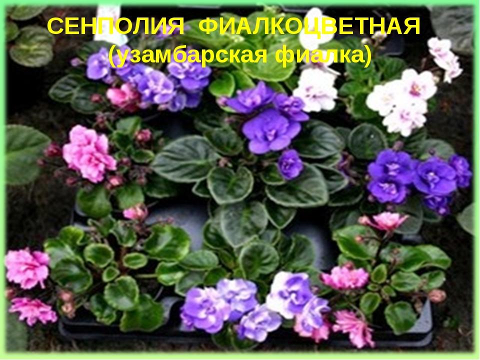 СЕНПОЛИЯ ФИАЛКОЦВЕТНАЯ (узамбарская фиалка)