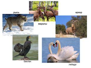 маралы рысь архар баклан лебеди