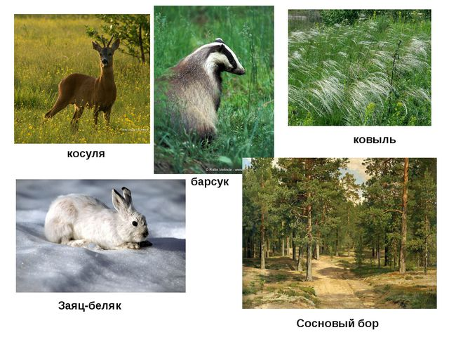 косуля Заяц-беляк барсук Сосновый бор ковыль