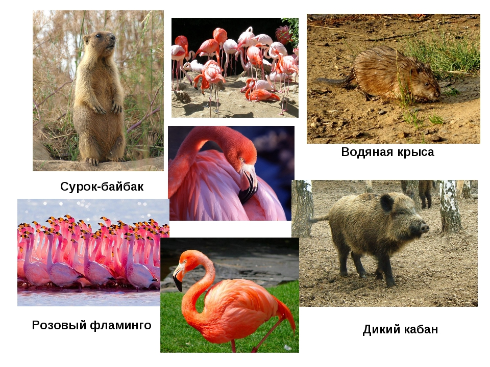 Сурок-байбак Водяная крыса Дикий кабан Розовый фламинго