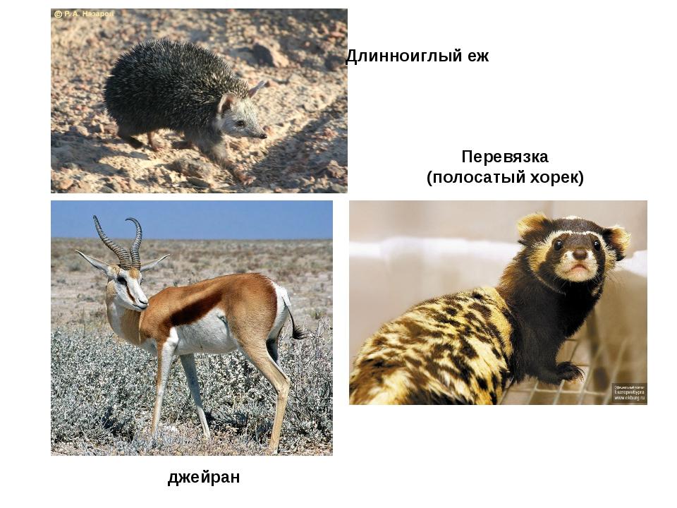 Длинноиглый еж Перевязка (полосатый хорек) джейран