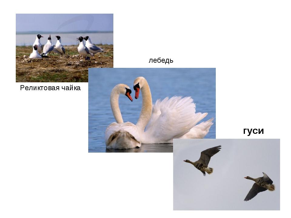 Реликтовая чайка лебедь гуси