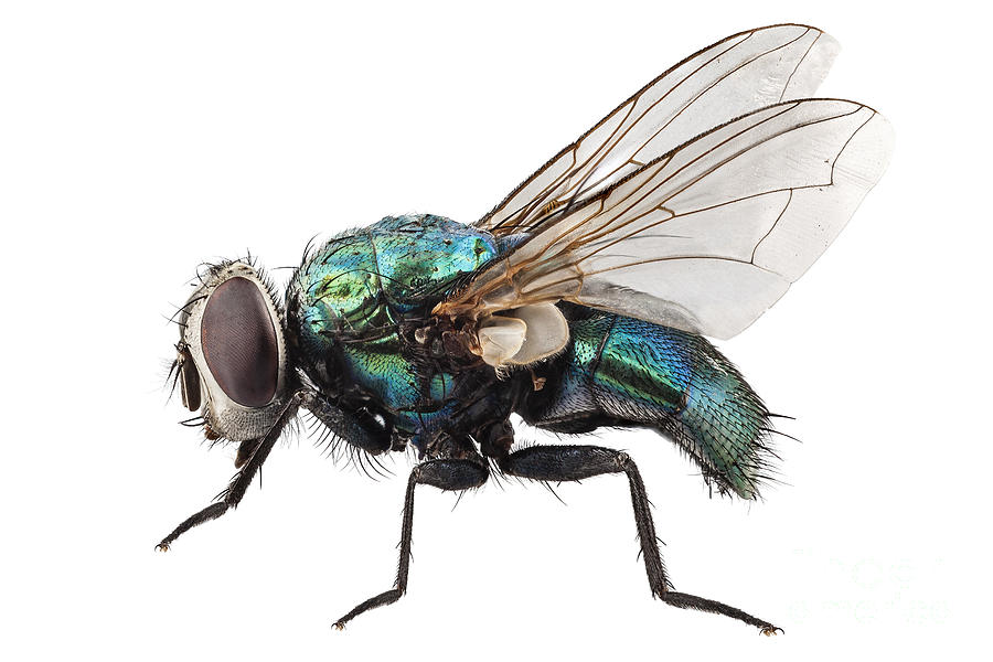 http://images.fineartamerica.com/images-medium-large-5/1-blow-fly-species-lucilia-caesar-pablo-romero.jpg
