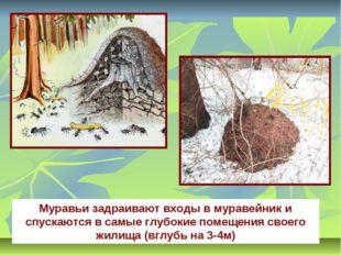 Муравьи задраивают входы в муравейник и спускаются в самые глубокие помещения