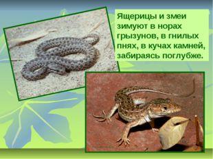 Ящерицы и змеи зимуют в норах грызунов, в гнилых пнях, в кучах камней, забира