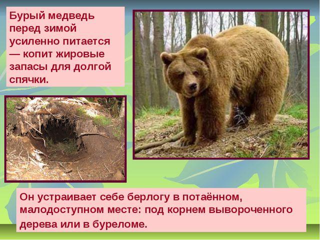 Бурый медведь перед зимой усиленно питается — копит жировые запасы для долгой...