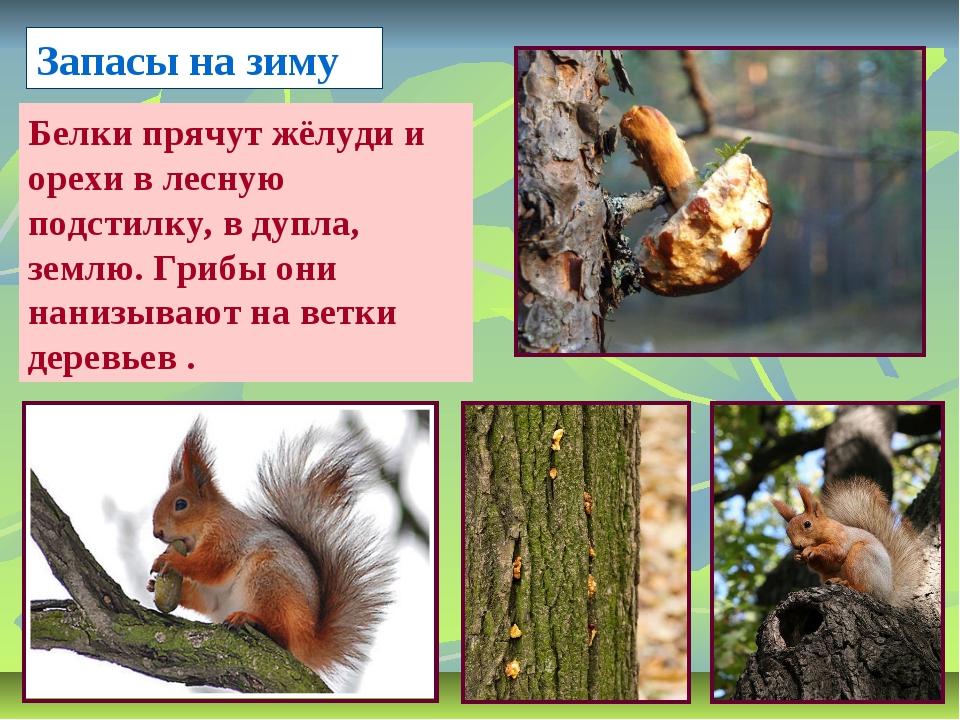 Запасы на зиму Белки прячут жёлуди и орехи в лесную подстилку, в дупла, землю...