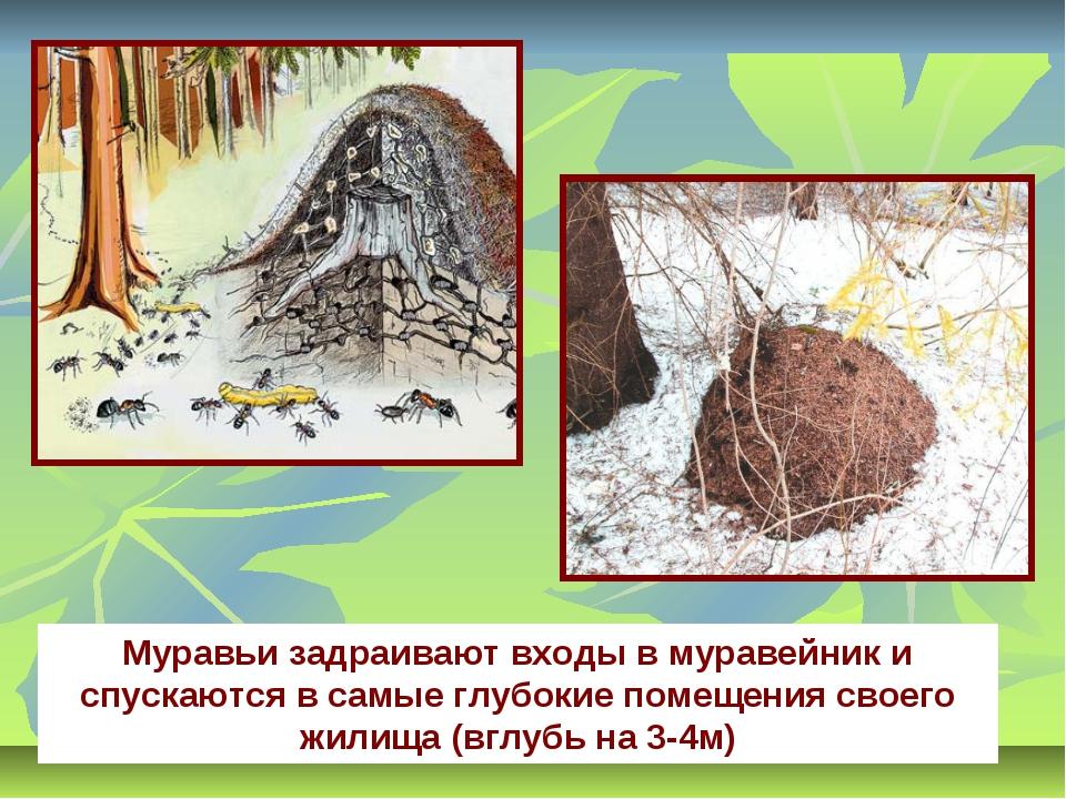 Муравьи задраивают входы в муравейник и спускаются в самые глубокие помещения...