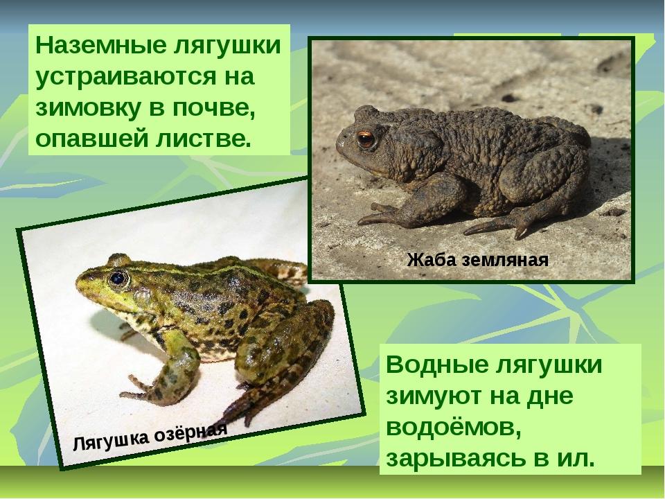 Наземные лягушки устраиваются на зимовку в почве, опавшей листве. Водные лягу...