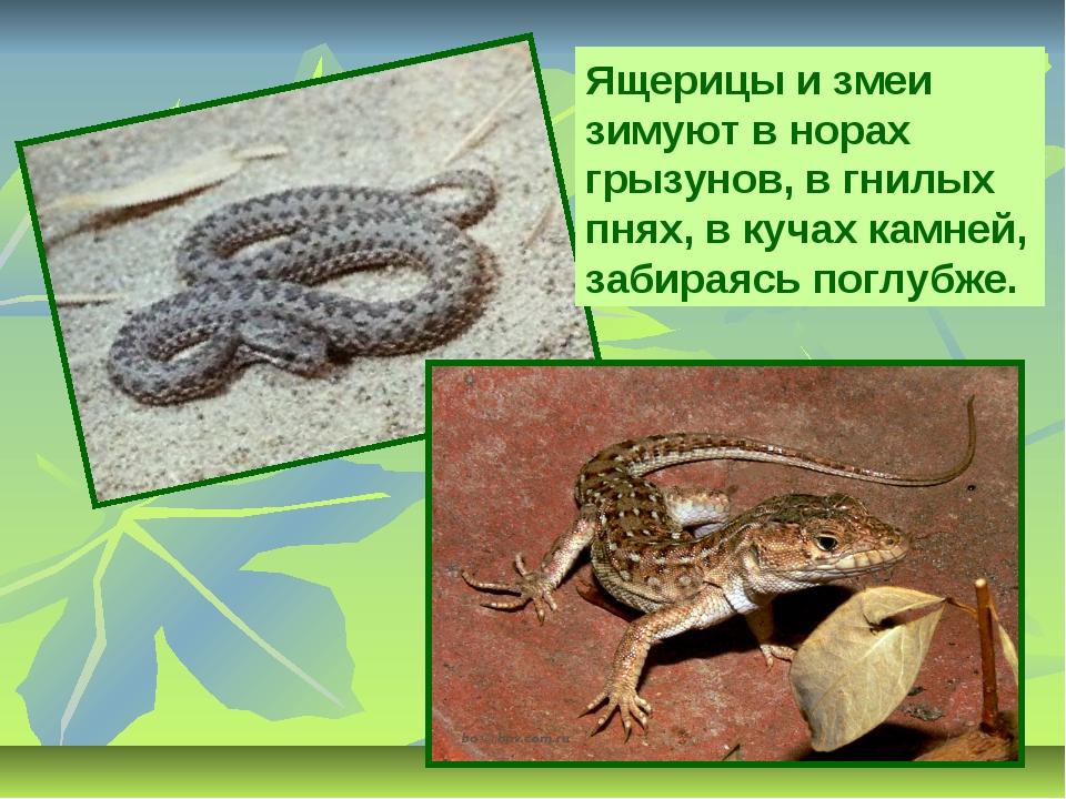 Ящерицы и змеи зимуют в норах грызунов, в гнилых пнях, в кучах камней, забира...