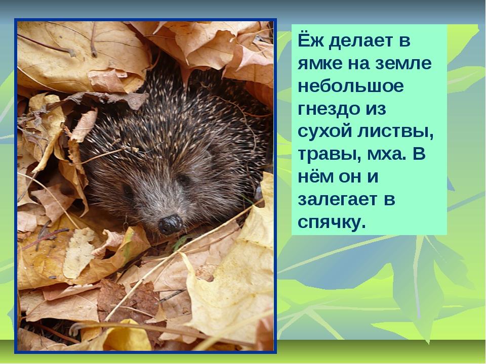 Ёж делает в ямке на земле небольшое гнездо из сухой листвы, травы, мха. В нём...