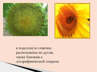 в подсолнухе семечки расположены по дугам, также близким к логарифмической сп