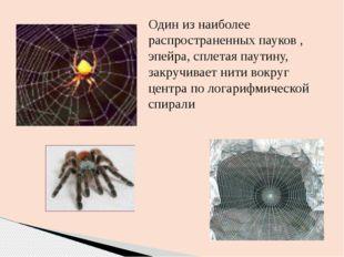 Один из наиболее распространенных пауков , эпейра, сплетая паутину, закручива
