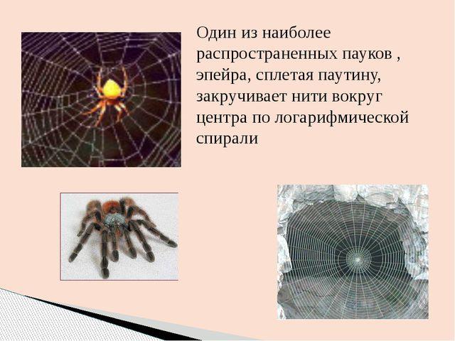 Один из наиболее распространенных пауков , эпейра, сплетая паутину, закручива...