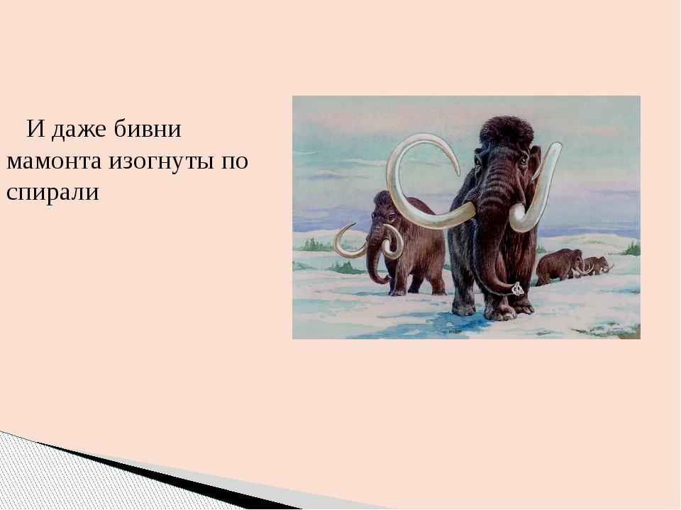 И даже бивни мамонта изогнуты по спирали