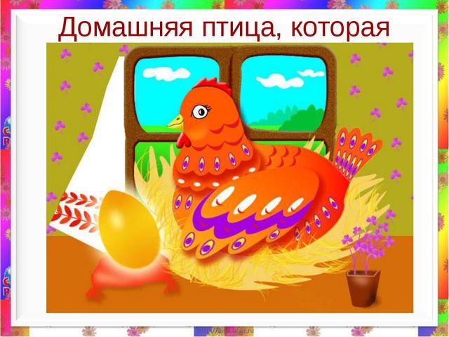 Домашняя птица, которая может нести золотые яйца.