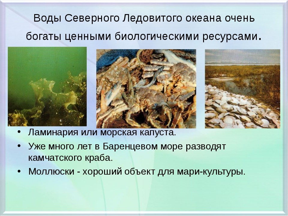 Воды Северного Ледовитого океана очень богаты ценными биологическими ресурсам...