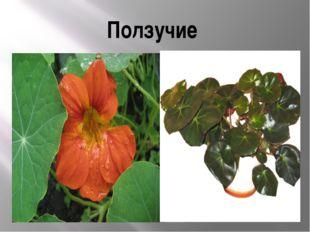 Также можно поделить их по степени одревесневания бывают: Травянистые – обы