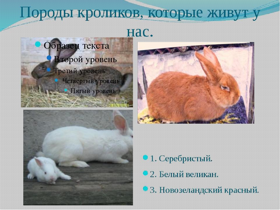 Породы кроликов, которые живут у нас. 1. Серебристый. 2. Белый великан. 3. Но...
