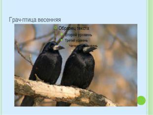 Грач-птица весенняя