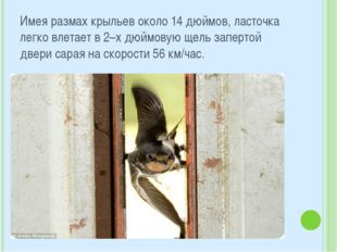 Имея размах крыльев около 14 дюймов, ласточка легко влетает в 2–х дюймовую ще