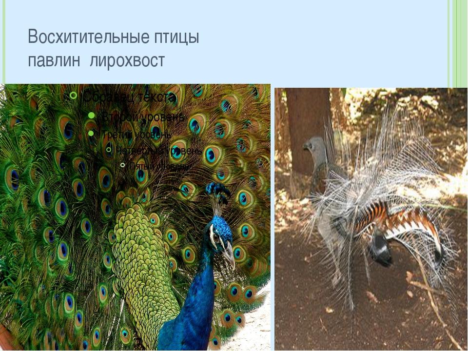 Восхитительные птицы павлин лирохвост