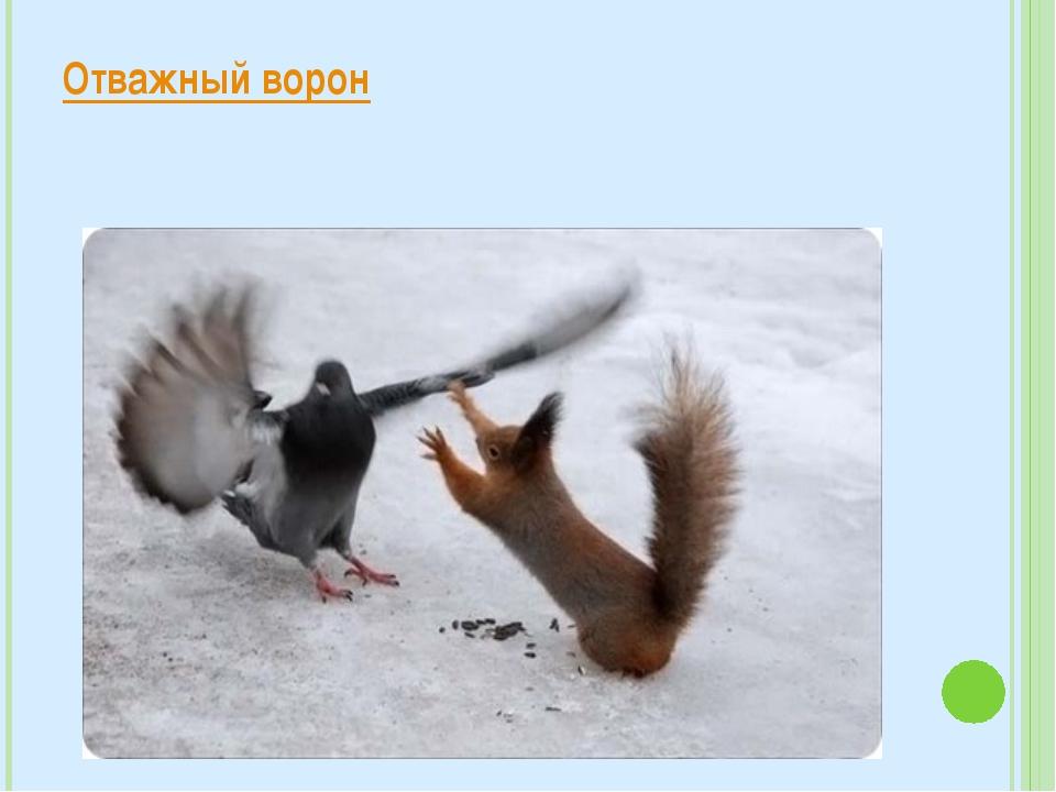 Отважный ворон