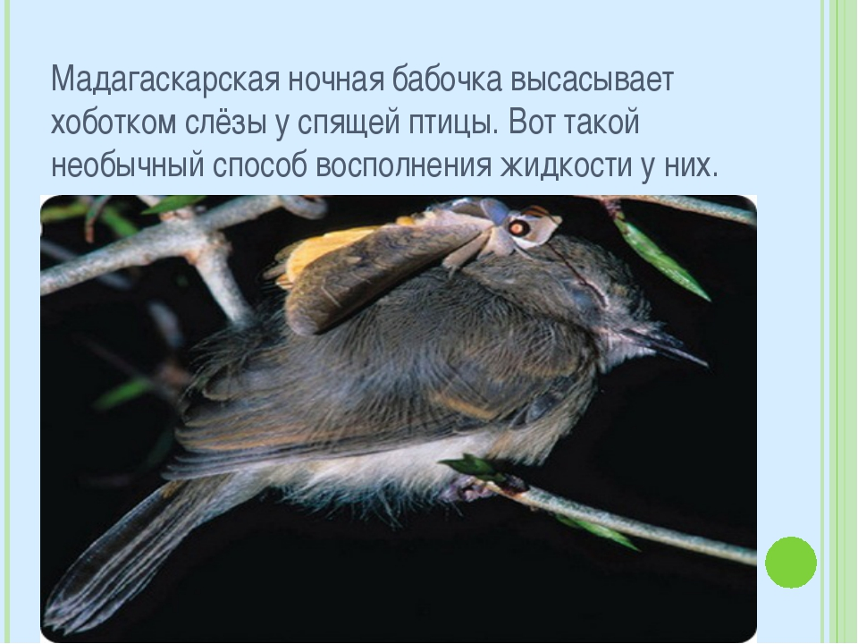 Мадагаскарская ночная бабочка высасывает хоботком слёзы у спящей птицы. Вот т...