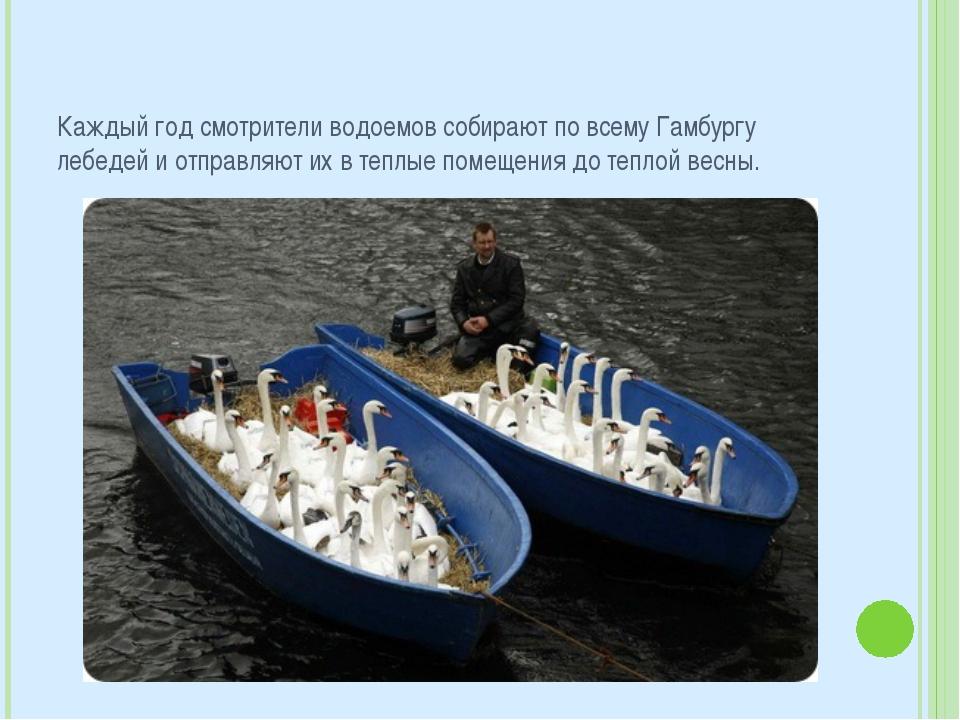 Каждый год смотрители водоемов собирают по всему Гамбургу лебедей и отправляю...