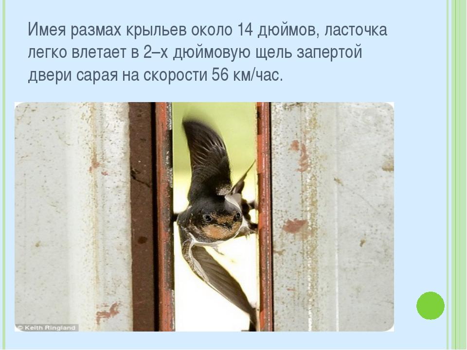 Имея размах крыльев около 14 дюймов, ласточка легко влетает в 2–х дюймовую ще...