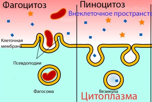 D:\Работа колледж\Биология\Конспекты биология\откр.урок на кат\9.Цитоплазма и клеточная мембрана\картинки\фагоц и пиноц.jpg