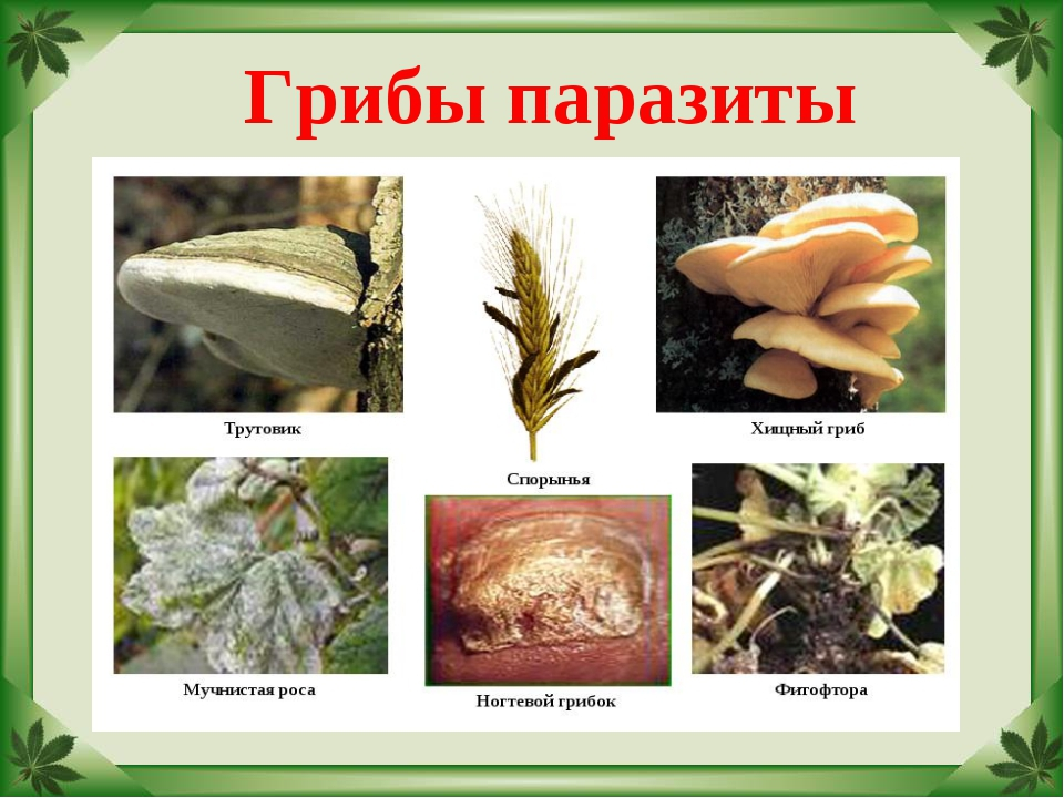 Паразиты грибы картинки
