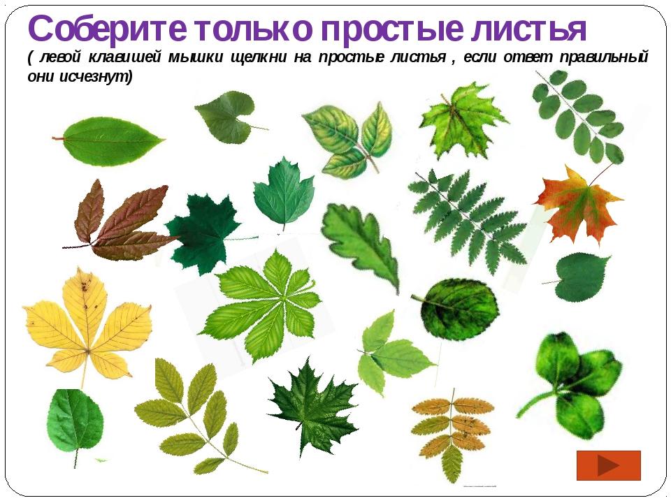 Соберите только простые листья ( левой клавишей мышки щелкни на простые листь...