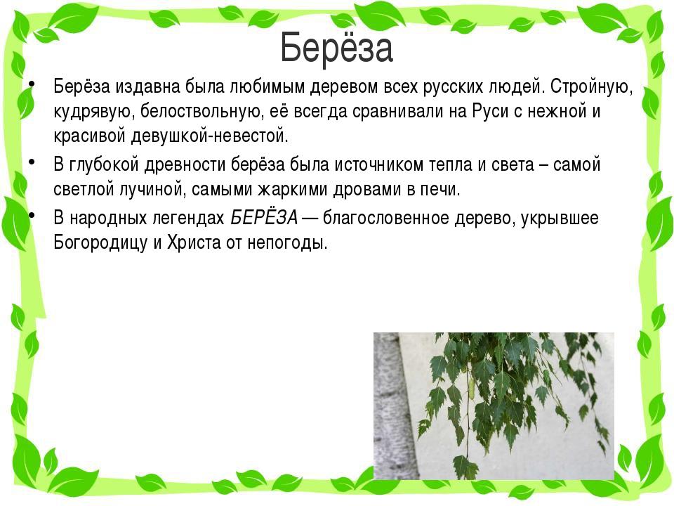 Берёза Берёза издавна была любимым деревом всех русских людей. Стройную, кудр...