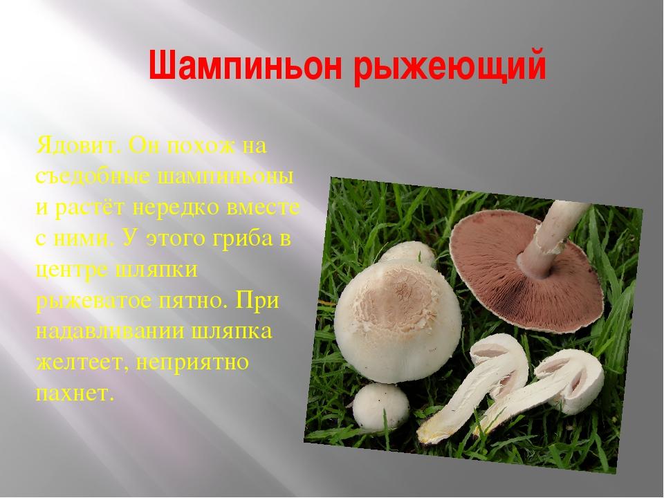 этот грибы шампиньоны фото и описание часто требуется