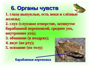 6. Органы чувств 1. глаза выпуклые, есть веки и слёзные железы; 2. слух (слух