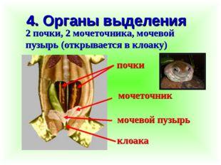 4. Органы выделения 2 почки, 2 мочеточника, мочевой пузырь (открывается в кло
