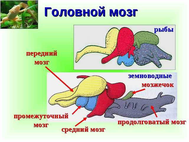 Головной мозг рыбы земноводные передний мозг промежуточный мозг средний мозг...