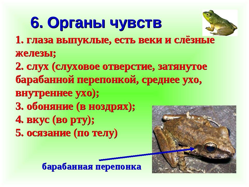 6. Органы чувств 1. глаза выпуклые, есть веки и слёзные железы; 2. слух (слух...