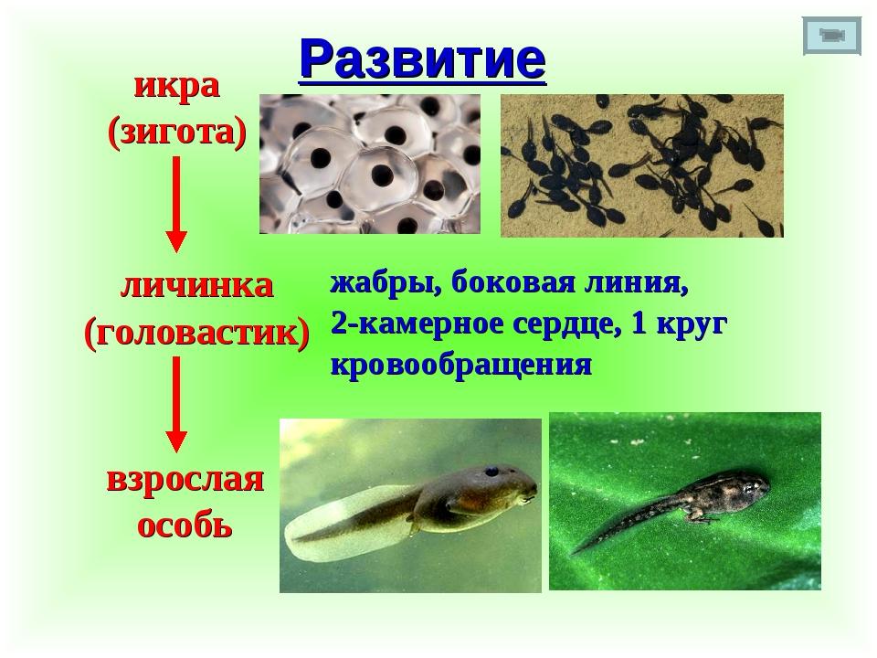 Развитие икра (зигота) личинка (головастик) взрослая особь жабры, боковая лин...